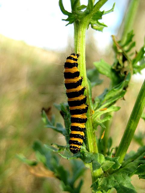 Cinnabar caterpillar (close-up)