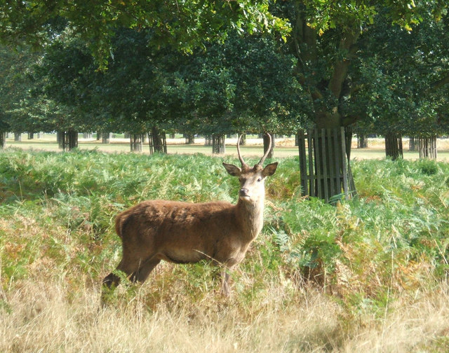 Young Red deer stag in Bushy Park.
