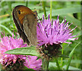 SO5508 : Meadow Brown butterfly on Knapweed by Pauline E