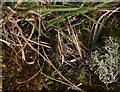 TF8645 : Natterjack Toad (Bufo calamita) by Hugh Venables