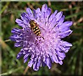 NO6948 : Hoverfly on Scabious by Anne Burgess