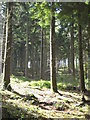 SW8348 : Conifers in Bishop's Wood by Rod Allday