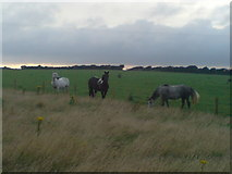 SM8819 : Horses - why is the grass always greener on the other side? by Deborah Tilley