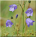 SD4482 : Harebell at Latterbarrow by Gary Rogers