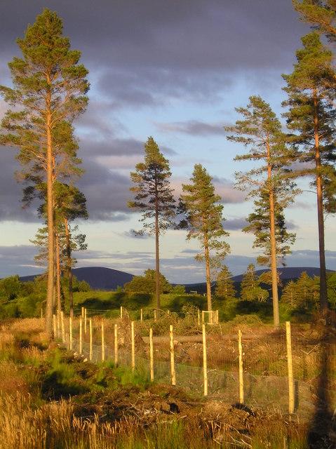Scots Pine near Garlinemore