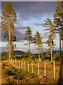 NJ1642 : Scots Pine near Garlinemore by Will Anderson