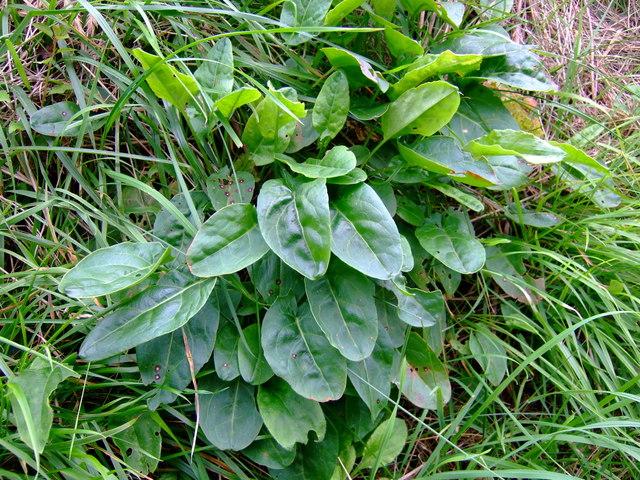 Wild sorrel (Rumex acetosa)
