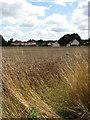 TG3210 : Wheat field beside Holly Lane by Evelyn Simak
