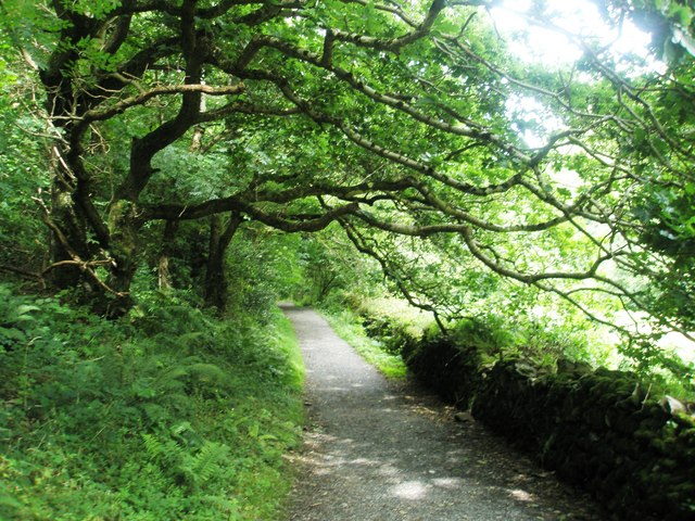 Overhanging tree on the Heddon's Path