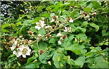 J4774 : Bramble flower at Kiltonga by Albert Bridge