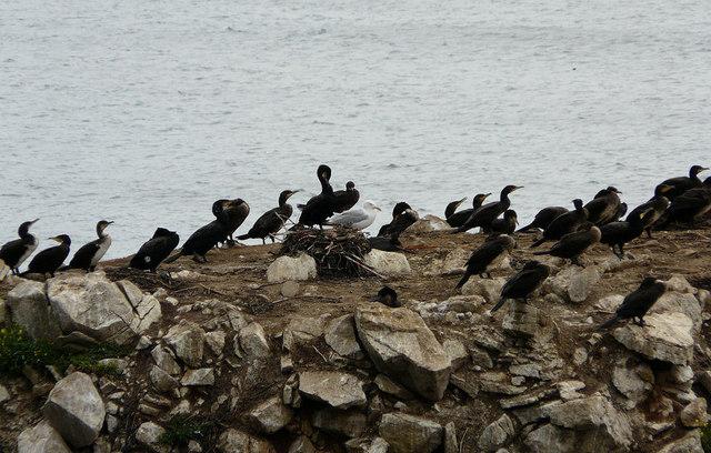 Seabirds on Marsden Rock