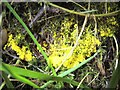 NS3582 : A slime mould - Fuligo septica (plasmodium) by Lairich Rig
