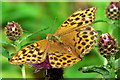 SX8088 : Female Silver-washed Fritillary by paul dickson