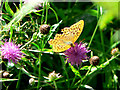 SX7889 : Male Silver-washed Fritillary on knapweed by paul dickson