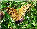 SX7889 : Female Silver-washed Fritillary by paul dickson