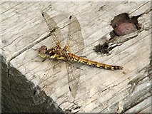 NS3778 : Darter dragonfly by Lairich Rig