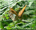 SX7880 : Silver-Washed Fritillaries in Bovey Valley mating by paul dickson