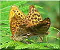 SX7880 : Silver-Washed Fritillaries by paul dickson