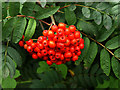 SE9132 : Roadside Red Berries by Andy Beecroft