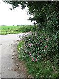 TG4115 : Common Mallow (Malva sylvestris) by Evelyn Simak