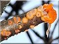 NS3977 : A fungus - Phlebia radiata by Lairich Rig