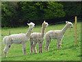 SU8399 : Alpacas at Speen by Andrew Smith