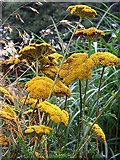 TG1124 : Fern-leaf yarrow  (Achillea filipendulina) by Evelyn Simak
