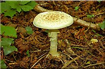 J4772 : Fungus, Killynether Wood (4) by Albert Bridge
