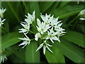 NS4373 : Ramsons (Allium ursinum) by Lairich Rig