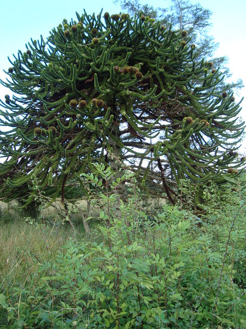 Amazing Monkey Puzzle Tree: Copany