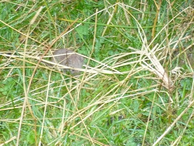 A mouse beside the track of The Pendle and Bronte Way.