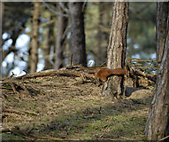 SD2708 : Pine Woods and Red Squirrel by Dave Green