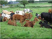 NZ2811 : Cows by Antonia