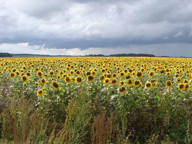 Sunflower Sundance