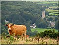 ST4356 : Callow Hill Beef by Ms Dixon