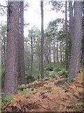 NH9817 : Abernethy Forest by Richard Webb