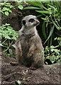 SJ4070 : Meerkat in Chester Zoo by Jeff Buck