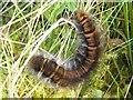 NS3680 : Caterpillar of Fox Moth (Macrothylacia rubi) by Lairich Rig