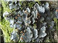 NS3681 : A lichen - Peltigera membranacea by Lairich Rig