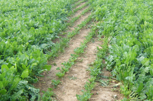 Footpath through field of beet