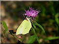 TG1622 : Common Brimstone (Gonepteryx rhamni) by Evelyn Simak