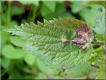 NS3980 : Leaf galls on nettle by Lairich Rig