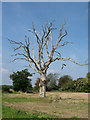 TM4163 : Dead tree, Knodishall Green by John Goldsmith