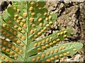 NS3278 : Polypody (a fern) - the underside by Lairich Rig