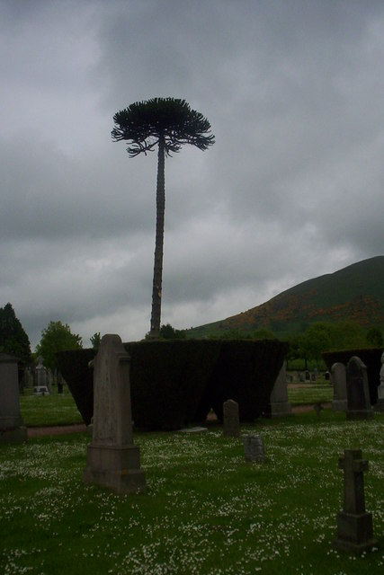 Monkey Puzzle tree in Upper Largo cemetery