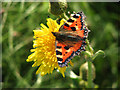 TG3930 : Small Tortoiseshell Butterfly (Aglais urticae) by Evelyn Simak