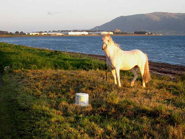 Horse on the shore at Ballytrasna