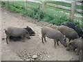 SU5570 : Young Boars by Sandy B