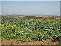 SW6326 : Field of cauliflower and charlock near Venton Vedna by Rod Allday