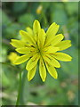 SW6327 : Mouse Eared Hawkweed (Pilosella officinarum) by Rod Allday